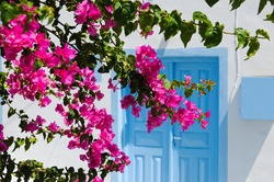 Entrance of a typical greek house with blue door and blooming bougainvillea plant in Santorini island Greece.