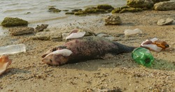 Environment and wildlife: dead young dolphin on the sea shore. Earth wildlife, environmental pollution, ecological catastrophe. Dead animal.