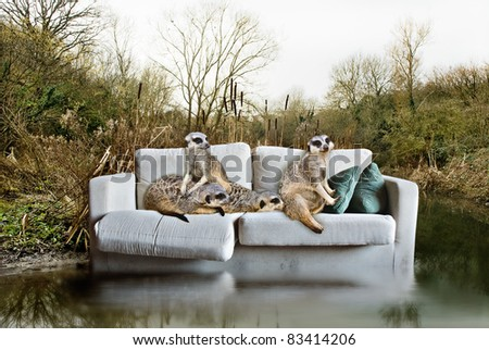 Environmental Concept, meerkats trapped on an abandoned couch.