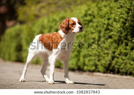 epagneul breton beautiful portrait in hunting white-red