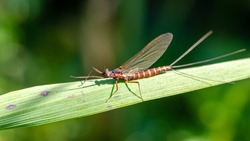 Ephemera danica is a species of mayfly in the genus Ephemera.