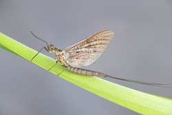 Ephemera vulgata, a species of mayfly, also commonly called as Canadian soldier, shadfly or fishfly
