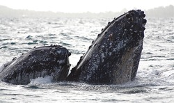 Epic view of humpback whale group take their rostrum out of the water with their calluses surrounded by wave during a grey day, in Sainte Marie Madagascar