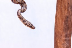 Epicrates cenchria is a boa species endemic to Central and South America. Common names include the rainbow boa, and slender boa