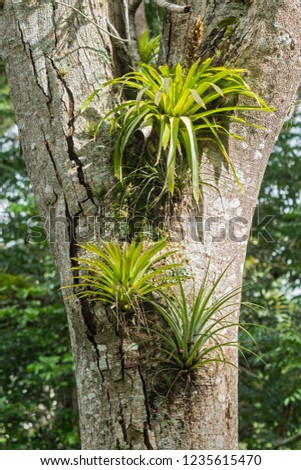 Epiphyte plant on the trees in Turquino National Park.