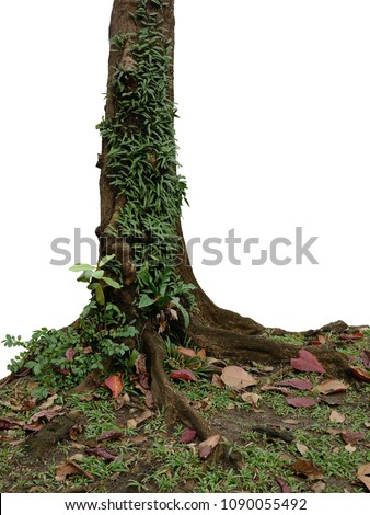 Epiphytic ferns, bird's nest fern and small plants growing in wild on tropical rainforest tree trunk isolated on white background, clipping path included.