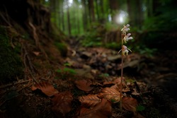 Epipogium aphyllum, Ghost Orchid, in the nature forest habitat, wide angle, Sumava NP, Czech Republic. Two flowers in the nature habitat from Sumava mountain. Rare flower orchid bloom with forest ligh
