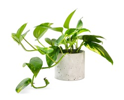Epipremnum aureum (family Araceae) plant in pot isolated on white background