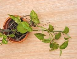 Epipremnum aureum is a species of flowering plant in the family of Araceae. The species is a popular houseplant. It is also known as money plant, golden pothos,devil's vine, devil's ivy,Ceylon creeper