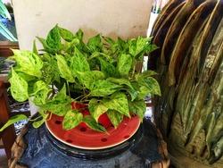 Epipremnum Aureum on the Pot