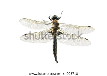 Epitheca bimaculata (female)