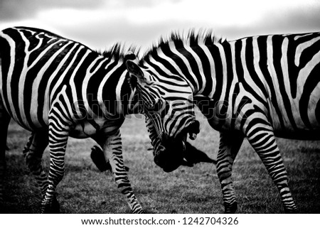 Equine zebra ungulate #1242704326