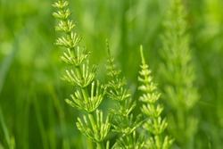 Equisetum arvense,  field horsetail with dew drops closeup selective focus