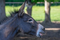 Equus asinus domesticated donkey funny young animal portrait, farm beautiful beast in daylight