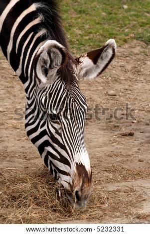 Equus grevyi in Zoo Ostrava