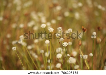 Eriocauulon smitinandii Moldenke , and  grass flower blooming outdoor in the field Thailand. #766308166