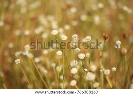 Eriocauulon smitinandii Moldenke , and  grass flower blooming outdoor in the field Thailand. #766308169