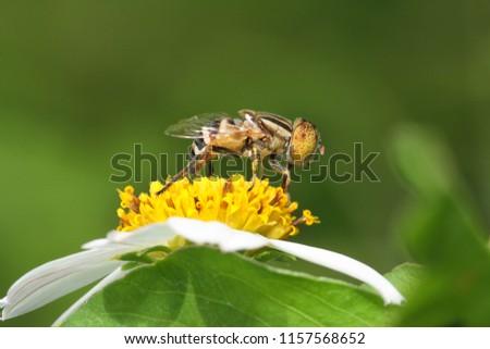 Eristalinus arvorum, flower fly on flower in the garden.