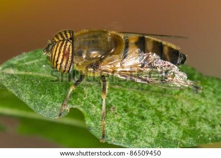 Eristalinus taeniops,male.
