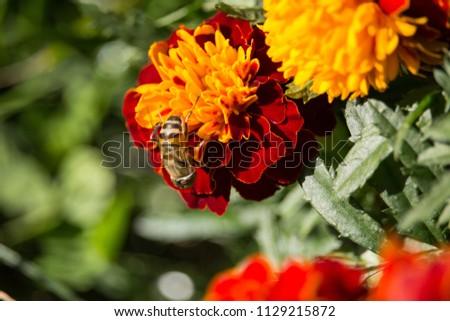 Eristalinus taeniops on Marigold
