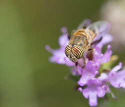 Eristalinus taeniops.  (the band-eyed drone fly), a species of hoverfly on a  flower