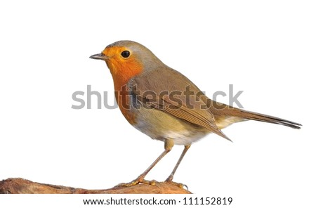 Erithacus rubecula isolated on white background.