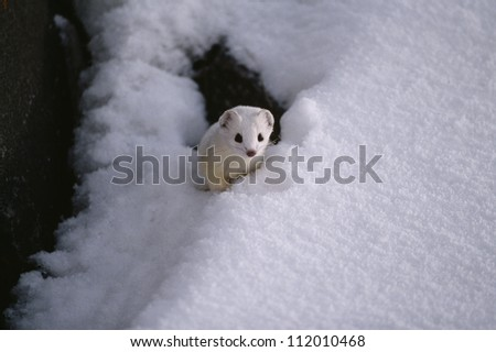 Ermine peeking through snow