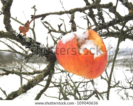 Eroded snowy red apple hanging from a wintry tree