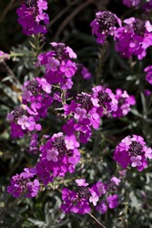 Erysimum Bowles's Mauve plants in flower in early May. A type of wallflower, North Yorkshire, England, United Kingdom