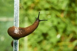 Escape of slug from aquarium where are collected from garden. Spanish slug (Arion vulgaris) invasion in garden. Invasive slug. Garden problem in Europe. Selective focus.