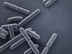Escherichia coli bacteria close up