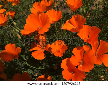 Eschscholzia californica commonly known as California poppy, golden poppy, California sunlight and cup of gold #1207926313
