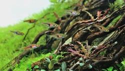 Espe's rasbora (false harlequin rasbora, lambchop rasbora) in freshwater aquarium. Trigonostigma espei is a small very friendly schooling fish perfect for any planted community aquarium.