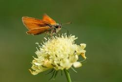 Essex Skipper - Thymelicus lineola, beautiful small orange butterfly from European meadows, Havraniky, Czech Republic.