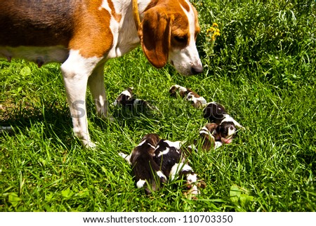 Estonian hound with its two-day-old puppies