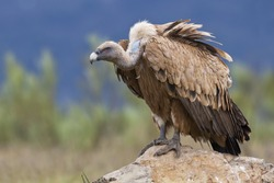 Estremadura, Griffon vulture in a detailed portrait, standing on a rock overseeing his territory