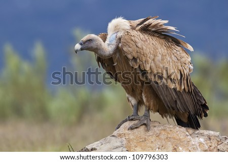 Estremadura, Griffon vulture in a detailed portrait, standing on a rock overseeing his territory Foto stock ©