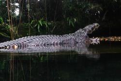 Estuarine crocodile on water reflection
