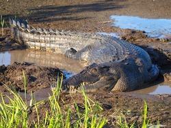 Estuarine saltwater Crocodile, Crocodylus porosus