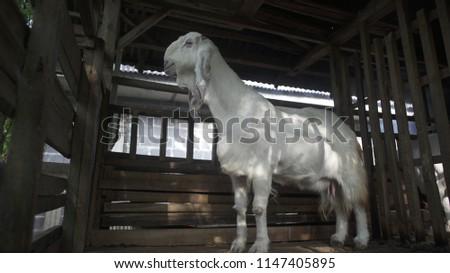 Etawa Goat farming