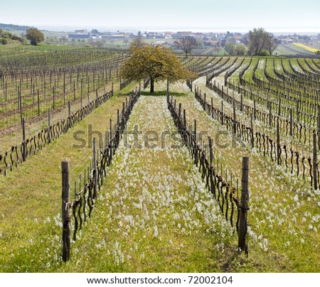 ethereal landscape in spring with vineyard in the front and lake in the back