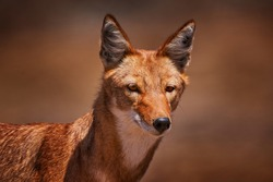 Ethiopian wolf, Canis simensis, in the nature. Bale Mountains NP, Ethiopia. Rare endemic animal portrait Africa. Wildlife nature from Ethiopia. Orange jackal fox, sunny day. Ethiopian wolf.
