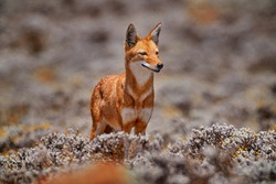 Ethiopian wolf, Canis simensis, in the nature. Bale Mountains NP, in Ethiopia. Rare endemic animal from east Africa. Wildlife nature from Ethiopia. Orange jackal fox, sunny day. Ethiopian wolf.
