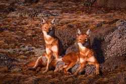 Ethiopian wolf pair, Canis simensis, pack in the nature. Bale Mountains NP, in Ethiopia. Two rare endemic animal from east Africa. Wildlife nature from Ethiopia.
