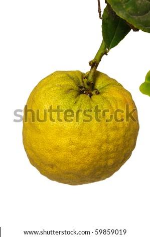 Etrog fruit of the citrus plant of the type of the lemon used on jewish holiday Sukkot - stock photo