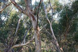 eucalypt branches in australian bushland