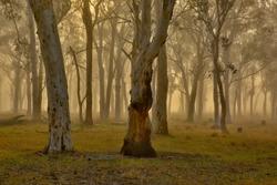 Eucalypt forest of Grey Gums (Eucalyptus punctata) lit up by morning mist in Kangaroo Valley, Australia.