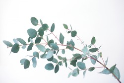 Eucalyptus botanical plant branch detail. Eucalyptus gunnii, commonly known as cider gum.