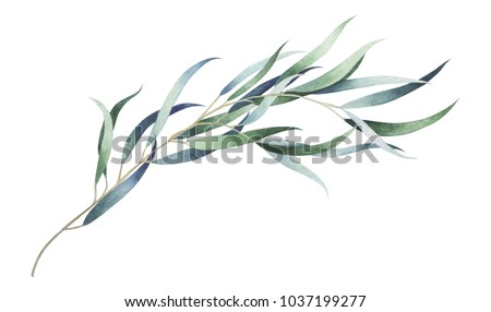 Eucalyptus branch isolated on white background. Watercolor hand drawn illustration.