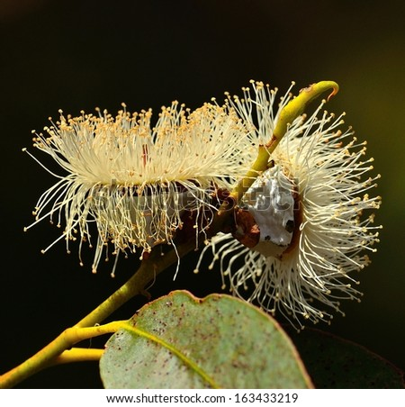 Eucalyptus flowers with many filaments and stamens